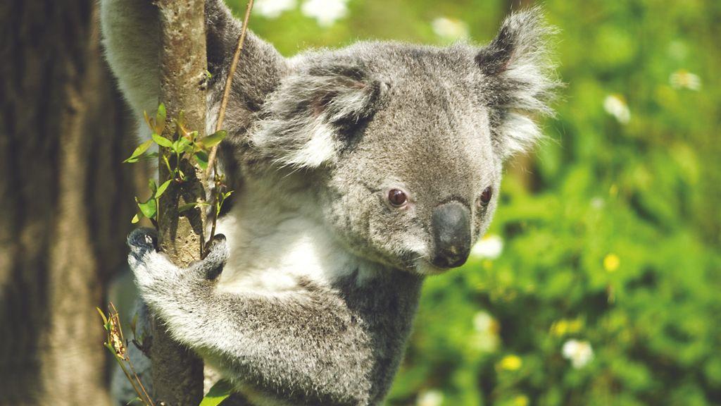 Las autoridades sacrifican en secreto a más de 600 koalas en el sur de Australia