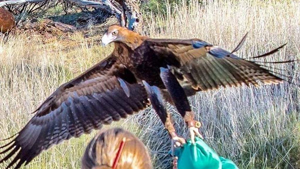 Niño atacado por águila