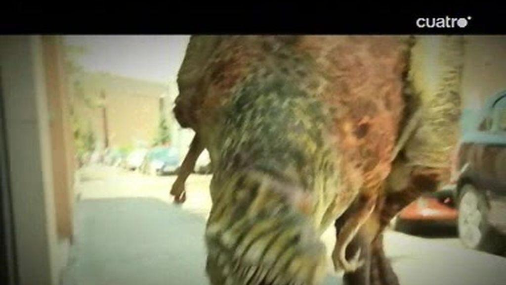 Boliche y el dinosaurio andan sueltos por Madrid