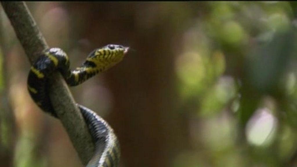Anillo de Fuego: El último superviviente apresa una peligrosa serpiente del manglar