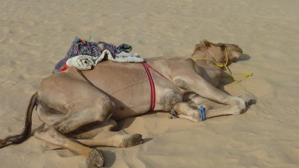 Uno de los camellos de su pequeña caravana, descansa bajo el ardiente sol arábigo