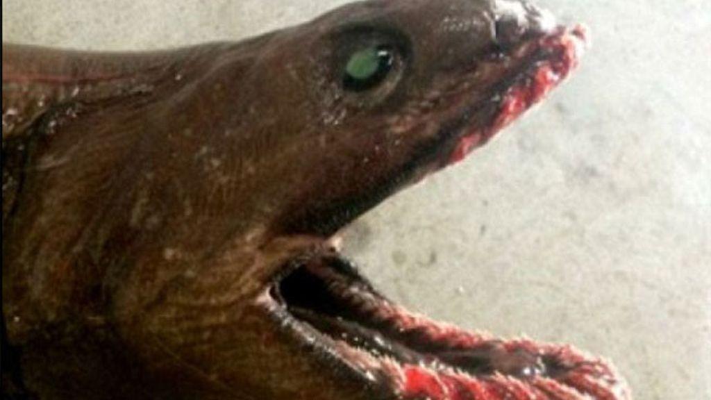 Es un tiburón anguila de dos metros de largo