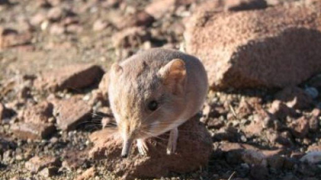 Parece un ratón pero es pariente del elefante