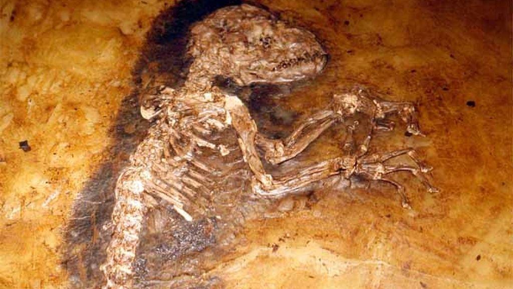 El fósil del mono.lemur 'Ida' que data de hace 47 millones de años.