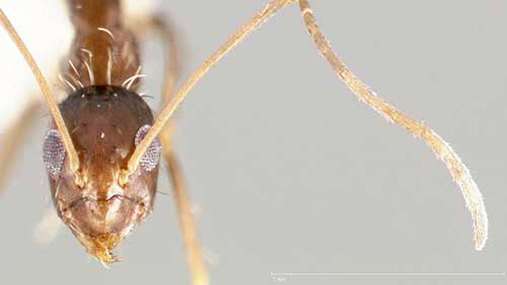 Invasión de 'hormigas locas' en Houston