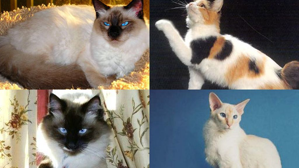 Gato balinés: Éstandar de la Federación Felina Internacional