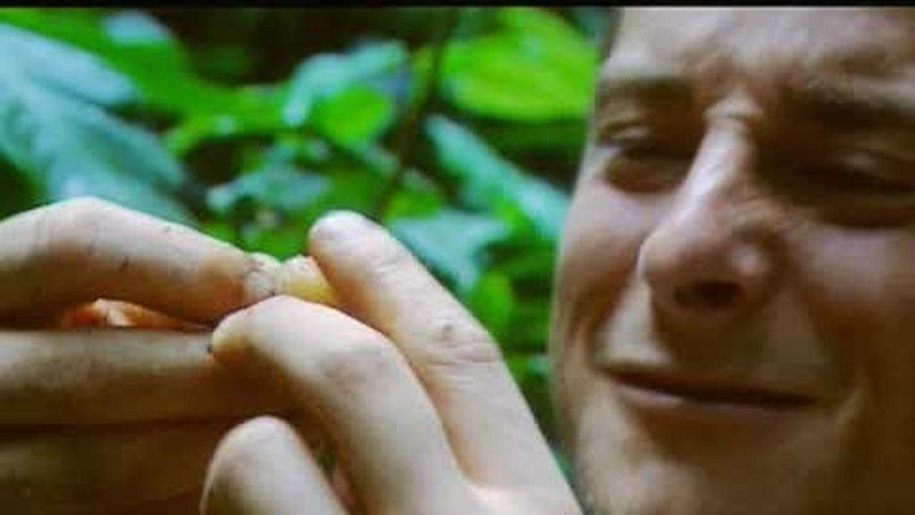 Ecuador: ¿a qué saben las larvas de picudos rojos?