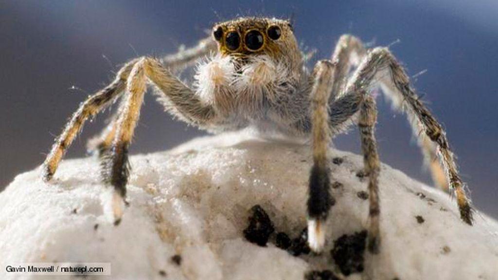 Araña saltadora del Himalaya