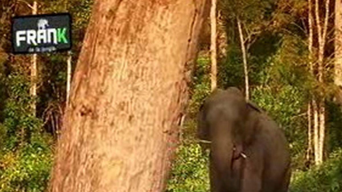 El elefante acecha