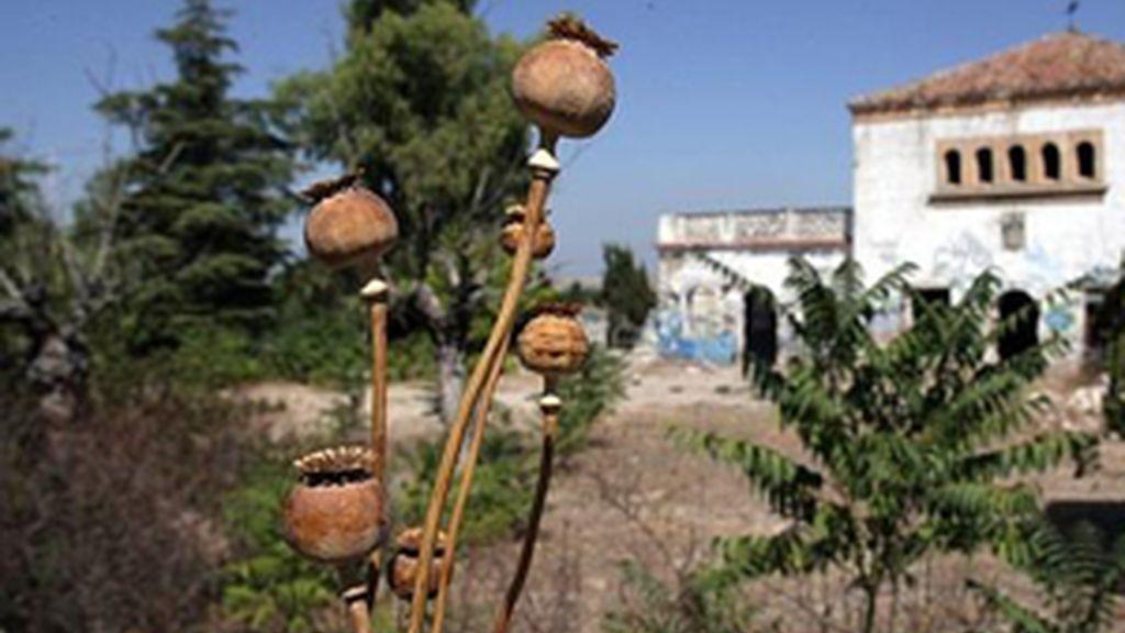 El estramonio es una planta que podemos encontrar en cualquier campo.