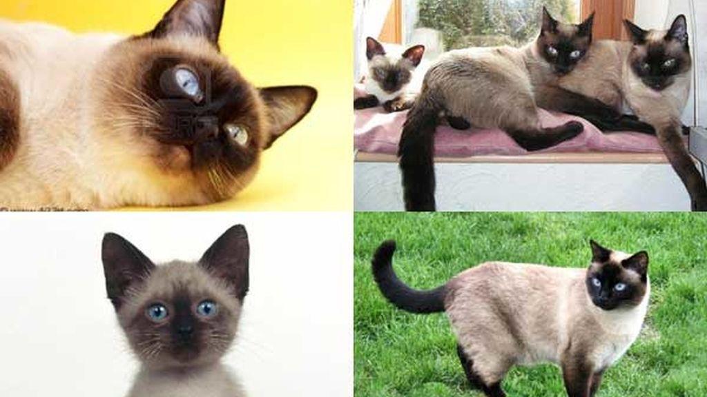 Gato siamés: Elegante y curioso