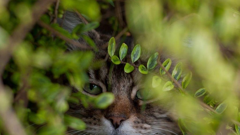 Gato mirando tras los arbustos