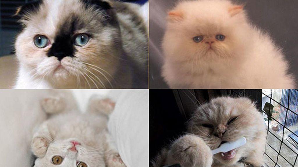 Gato foldex: El minino exótico