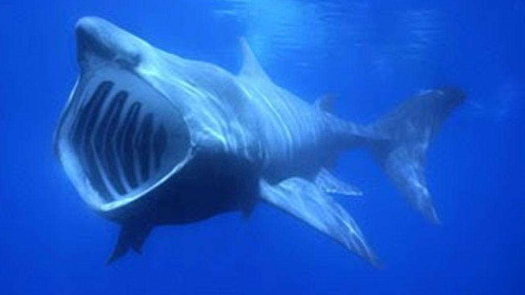 Avistados cuatro tiburones peregrinos en la costa asturiana