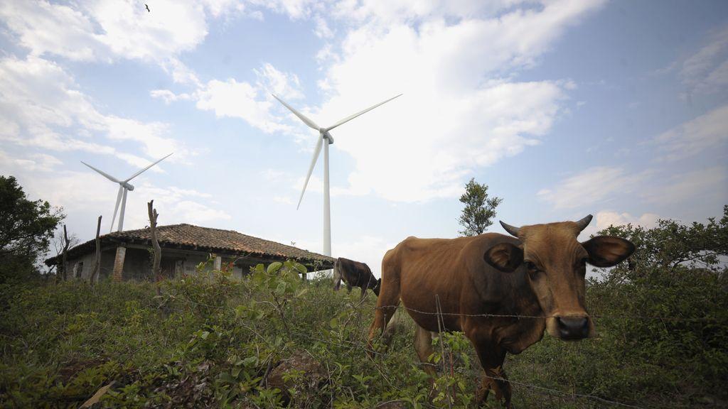 Una vaca entre molinos de viento