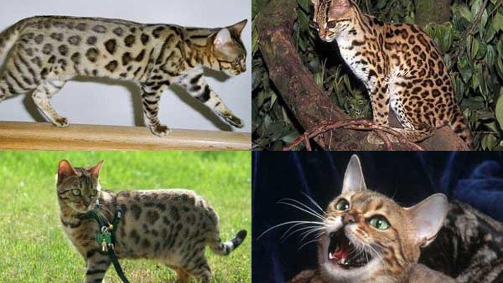 Gato bengal: El felino nadador
