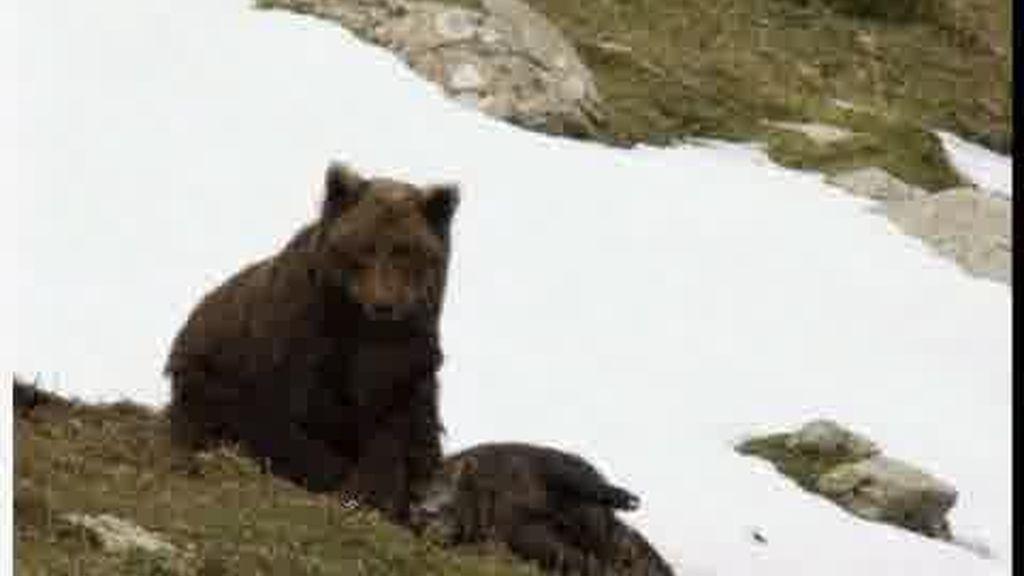 Último oso autóctono de los Pirineos