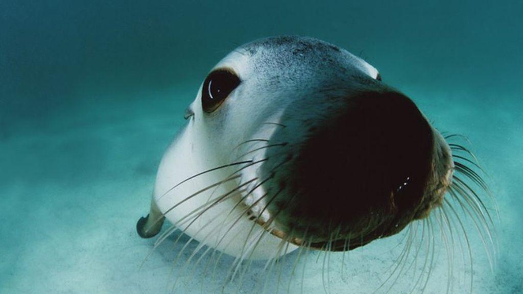 Un león marino en las islas Hopkins en el sur de Australia