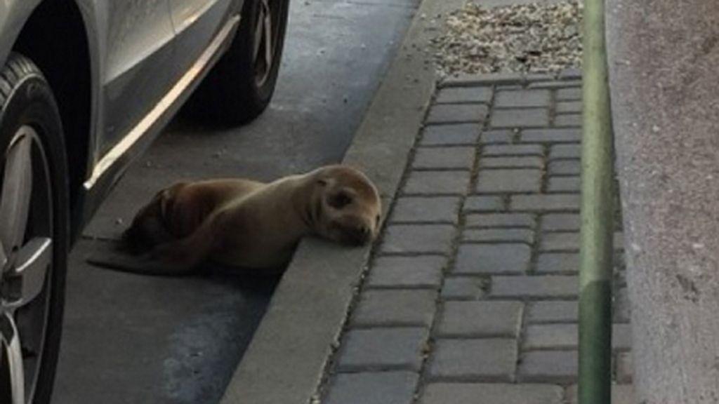 'Rubbish' el cachorro de león marino rescatado del asfalto en San Francisco
