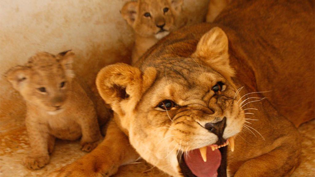 Una leona con sus cachorros