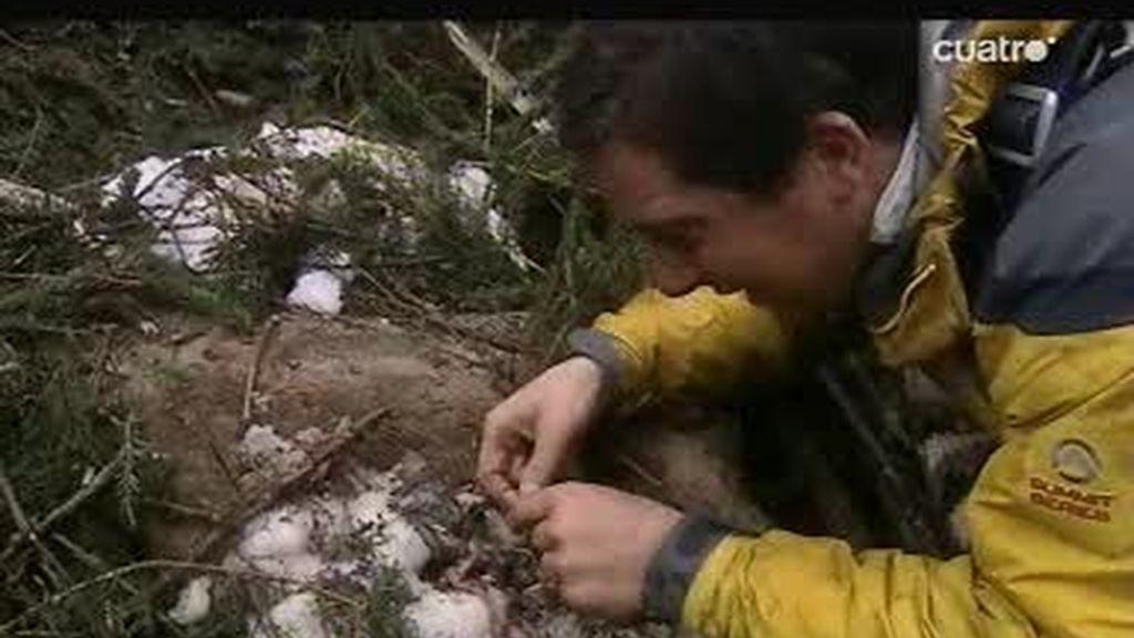 Los Alpes: el último superviviente come gusanos de una gamuza muerta