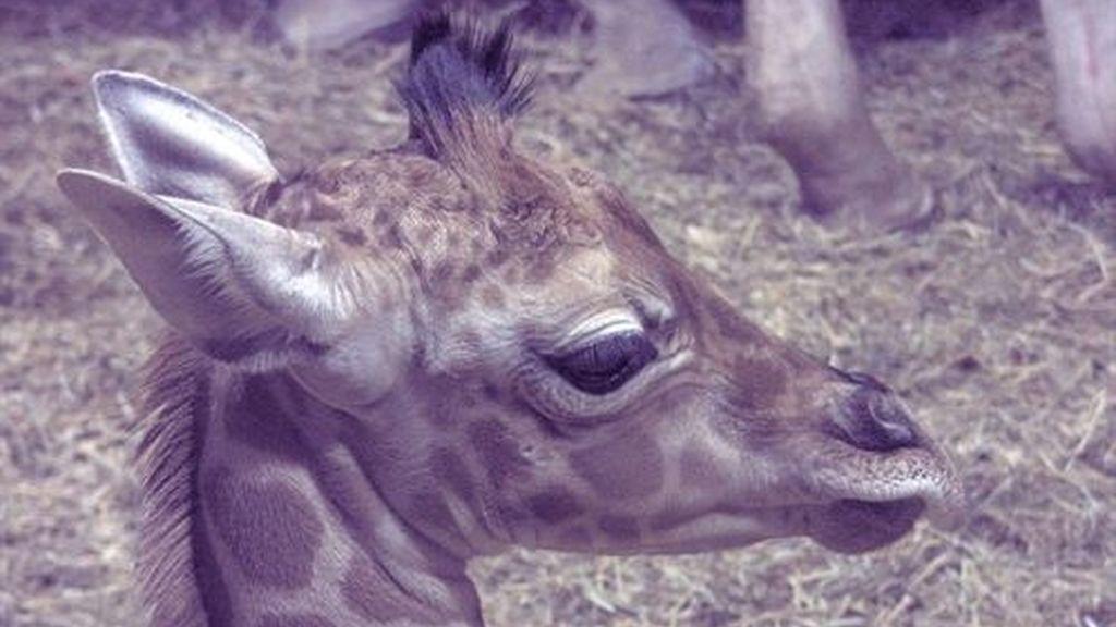 Nace en el Zoo de Madrid una cría de jirafa