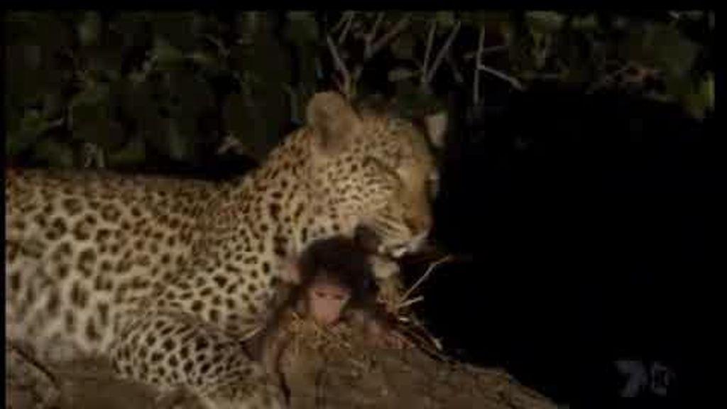 Una leoparda maternal