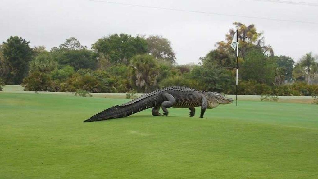 Un cocodrilo gigante en el campo de golf