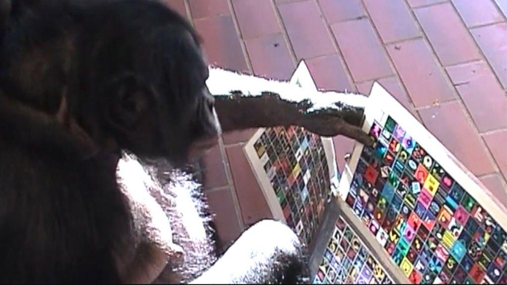 Un bonobo manejando una interfaz para comunicarse
