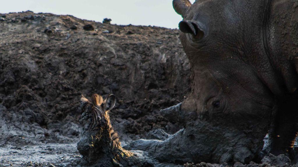El rescate de una pequeña cebra acaba en tragedia