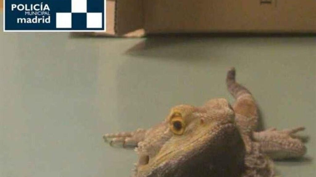La Policía Municipal rescata un dragón barbudo herido en la vía pública