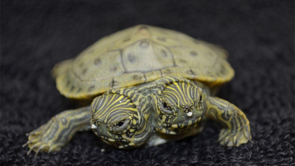 Nace 'Thelma y Louise', la tortuga con dos cabezas