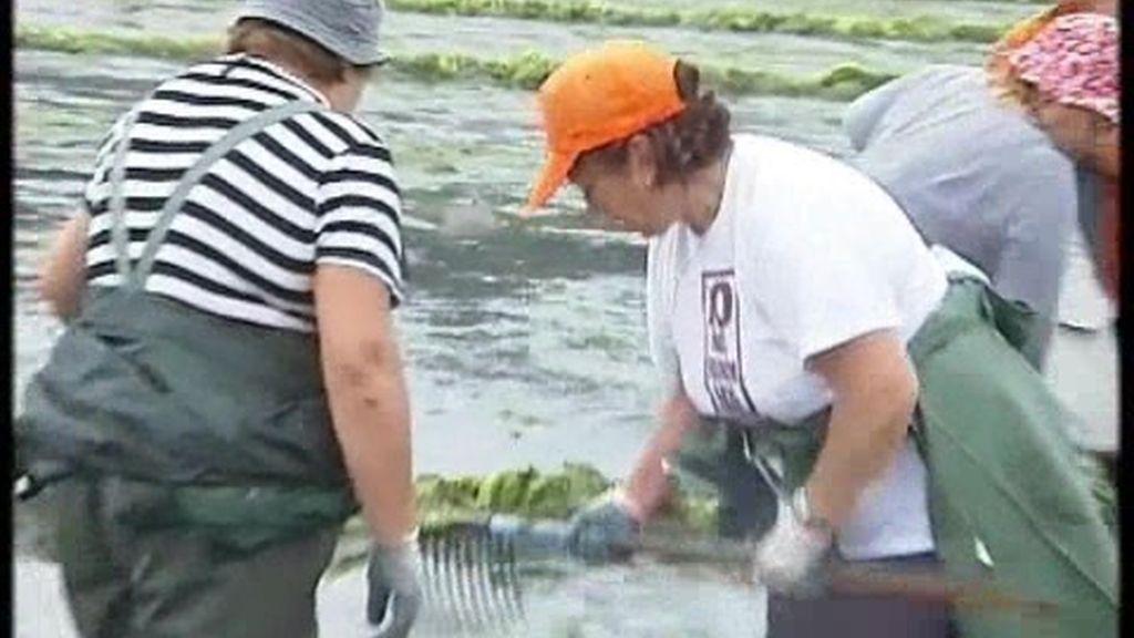 El marisco en Pontevedra, en peligro tras una plaga de algas