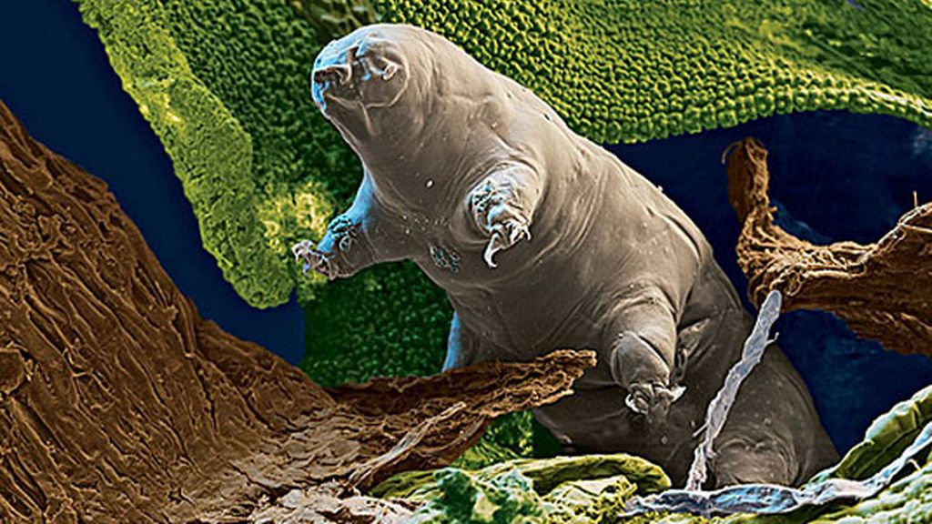 Oso de agua o tardigrada