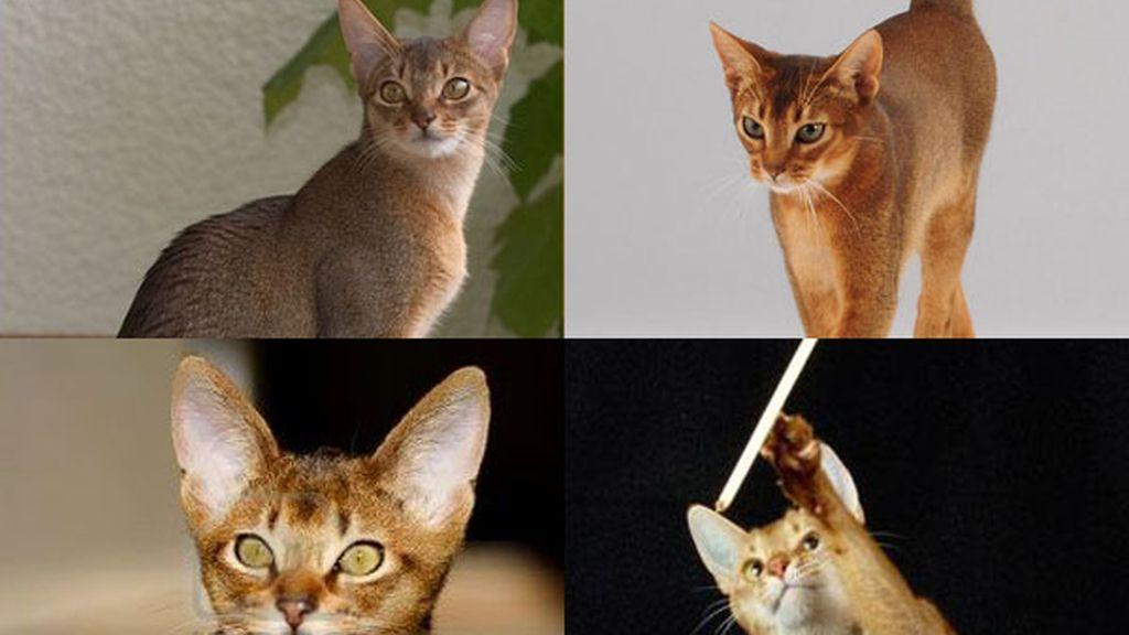 Gato abisinio: El minino más juguetón