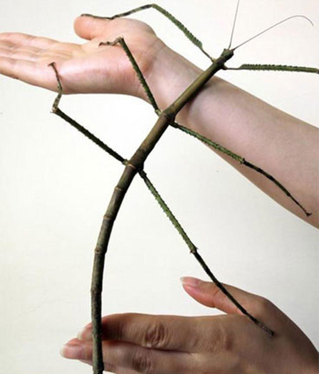 Descubren en China al insecto más largo del mundo