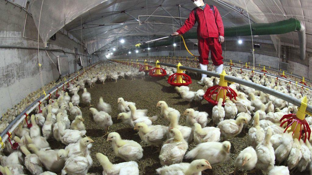 Primer caso del nuevo virus aviar H6N1 en humanos