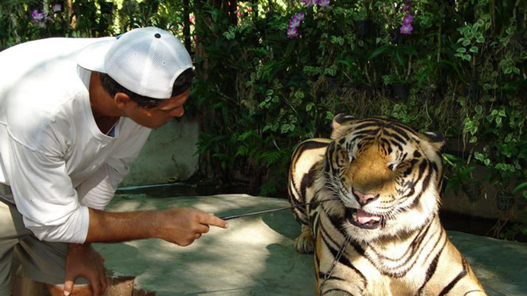 Frank observando un tigre