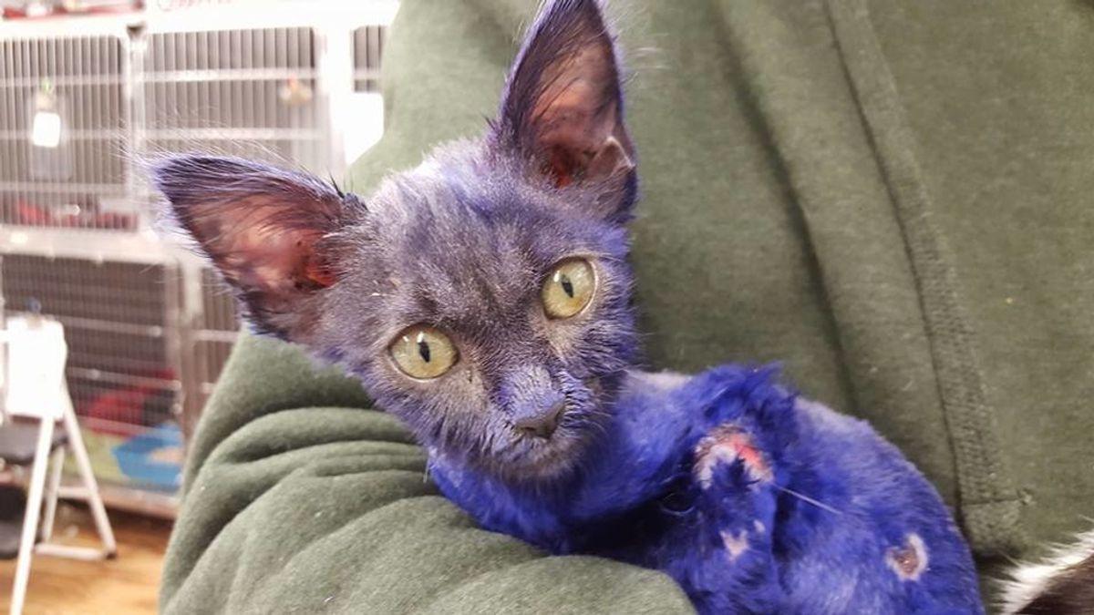 Smurf, gato teñido de morado maltratado