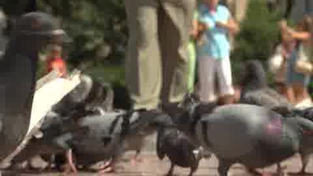 La batalla de las palomas