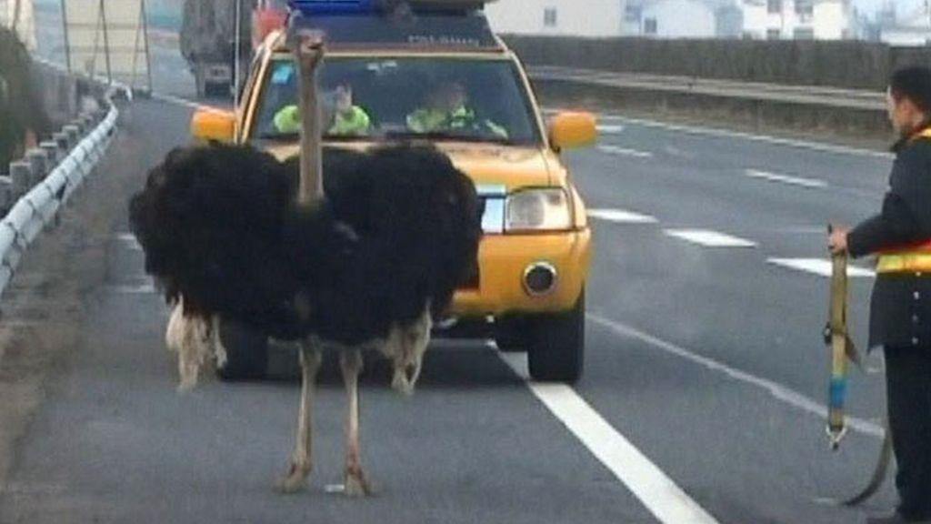 avestruz,avestruz,autopista,China,tráfico en carretera