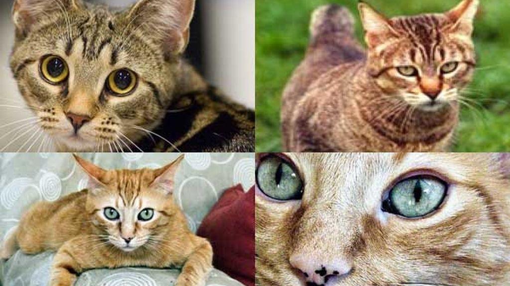 Gato asiático humo atigrado: El tigre bretón