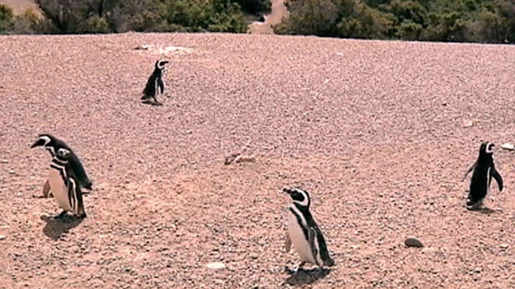 Pingüinos
