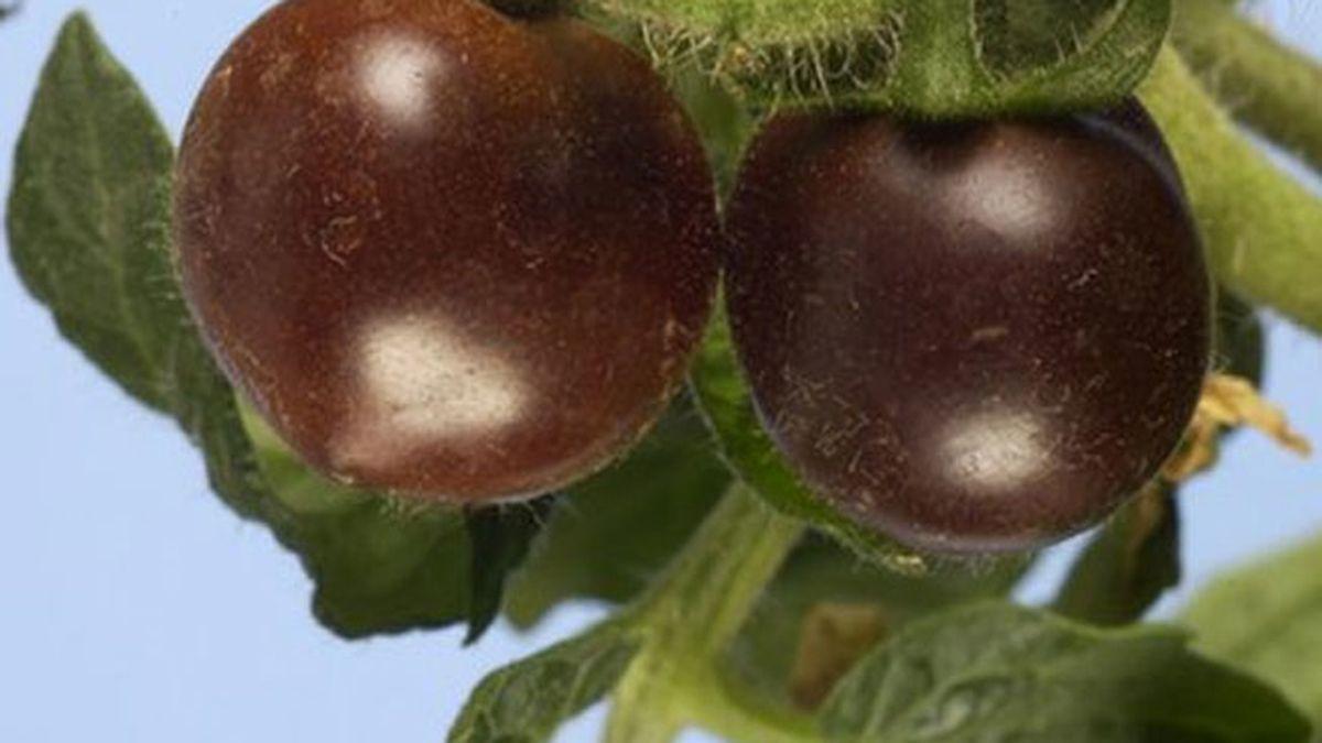 Tomates morados transgénticos