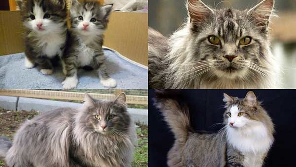 Gato: Bosque de Noruega: La mascota nacional noruega