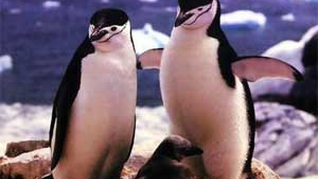 La homosexualidad es habitual entre los pingüinos. Foto: Archivo