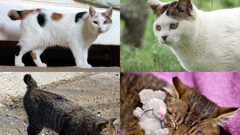 Gato bobtail japonés: El símbolo de la buena suerte