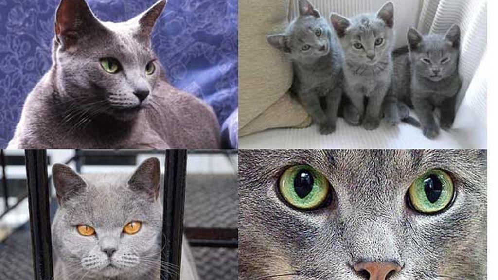 Gato azul ruso: El gato inteligente