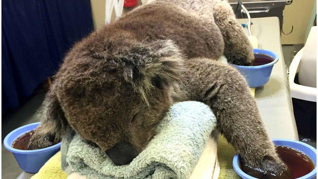 Koala quemado, koala