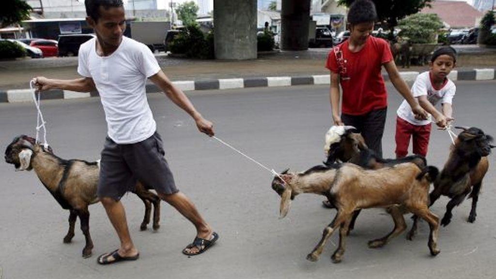 Cabras con un triste destino
